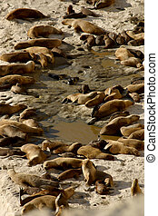 Argentine - sea lions on the Valdes Peninsula, Patagonia...