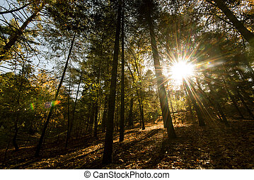 Sunbeams through  forest trees