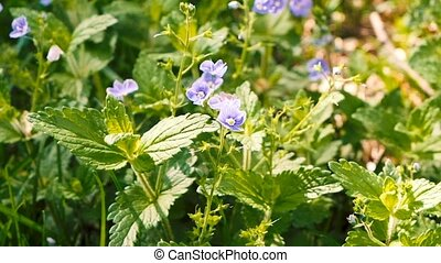 Wild flowers small blue florets timelapse with morning...