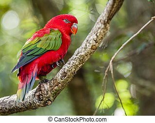 Chattering Lory - Close-up image of Chattering Lory living...
