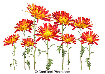 Collage of red and yellow rover daisies