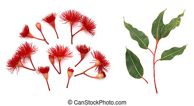 Red flowering Eucalyptus on white top view - Red eucalyptus...