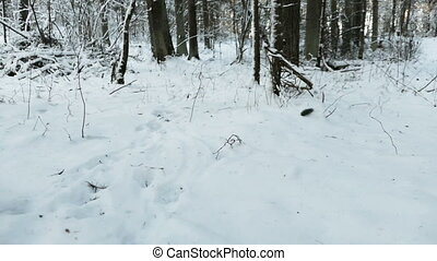 Wolf chasing his victim in the cold snowy winter forest in...