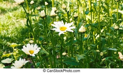 Daisies in the grass of a field in sunny day.