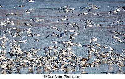 Nursery of water birds on a frozen river - Nursery of gulls...