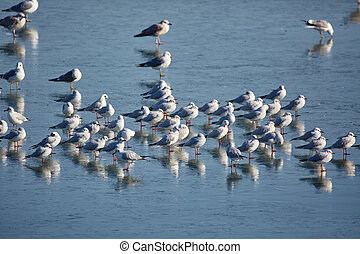 Nursery of water birds on a frozen river - Nursery of gulls...