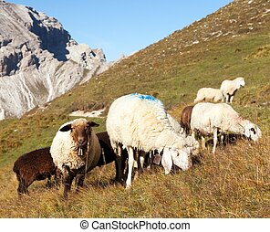 herd of sheep in alps dolomites mountains, ovis aries, sheep...