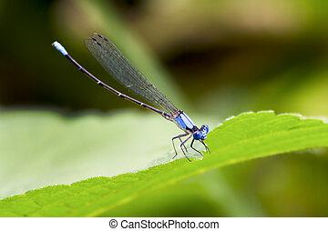 Blue Damselfly on leaf closeup - A brilliant blue damsel fly...