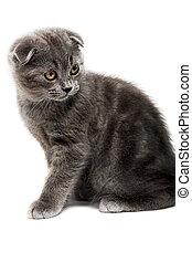 lop-eared kitten - gray lop-eared kitten isolated on white...