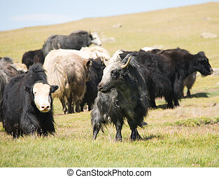 grunting ox - Alpine yak or as they are called - grunting ox