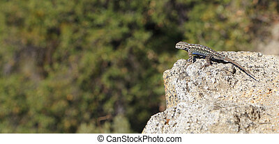 Sagebrush Lizard (Sceloporus graciosus) - The distinctive...