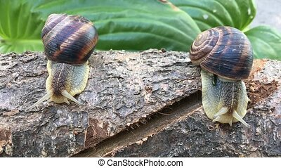 two snails crawling on the stump, close up