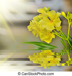 Nerium oleander beautiful yellow flower with reflect in...