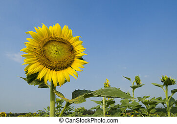 Landscape with sunflower