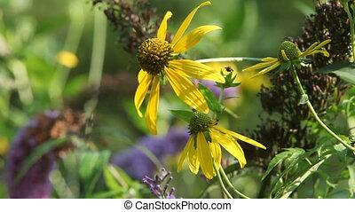 Wild flowers - Cup Plant - Silphium perfoliatum, summer...