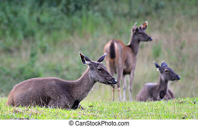 Sambar Deer in Khao Yai National Park, Thailand