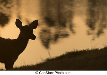 the sambar deer in Khao Yai National Park, Thailand