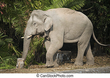 Wild elephant in Khao Yai National Park, Thailand