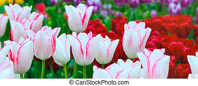 Vibrant colorful closeup white with pink tulips holiday panoramic background