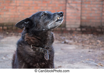 Black domestic dog showing its fangs at street