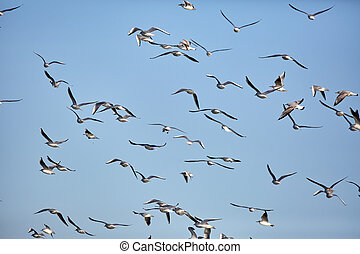 Flock of black headed gulls in flight - Flock of black...