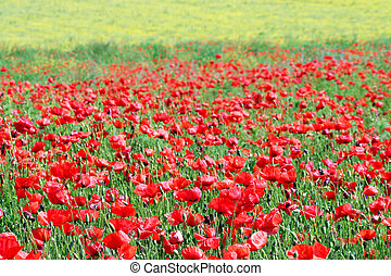 red poppies flower meadow country landscape
