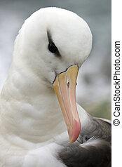 Albatroz, preto-browed, -, Falklands, melanophrys,...