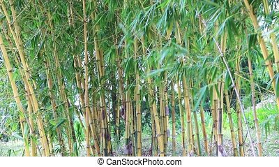 Bamboo grove and breeze - Bamboo forest blowing in the wind,...