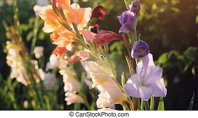 Blossoming colorful gladiolus flowers in garden at sunset time with lense flare effects in slowmotion.
