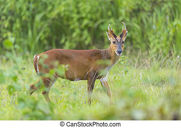 the barking deer with green background, Khao Yai National...
