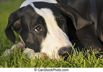 Great dane puppy - Cute Great Dane puppy