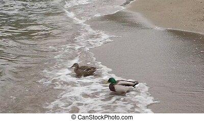 Ducks enter lake through waves of Como lake Italy in Europe