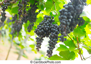 Bunch of black grape in the vineyard. North Thailand...
