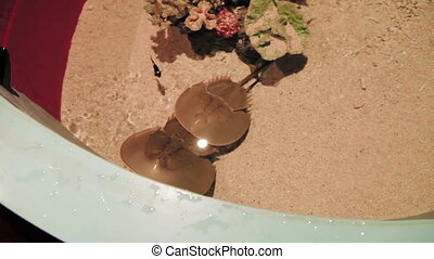 Pair of horseshoe crabs (Tachypleus tridentatus) in special...