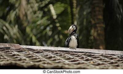Oriental pied hornbill (Anthracoceros albirostris) in tropical rain forest at Malaysia.