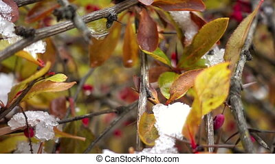 Autumn barberry - Red barberry branch with snow in the...