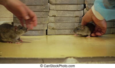 People Playing With Rats - Scientists playing with gray rats...