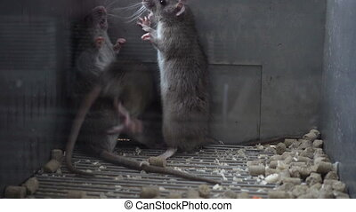 Two Gray Rats Fighting - Two gray rats fighting in a dark...