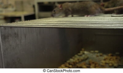Curious Gray Rats - The curious gray rats running around the...