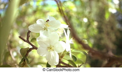 Apple Tree Flowers - Slowmotiom moving of apple tree flowers