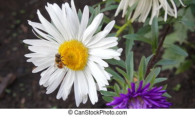 bee on aster flower