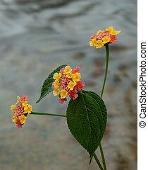 lantana, florecimiento,  CAMARA