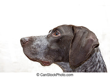 German Shorthaired dog a light brown color isolate macro