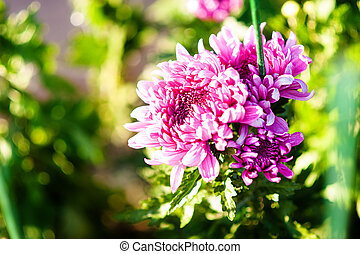 Chrysanthemum large pink flowers. ardening and floriculture...