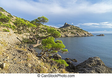 Relict pine tree on a cliff. Crimea, September.