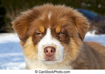 Australian Shepherd dog face - Australian Shepherd puppy dog...
