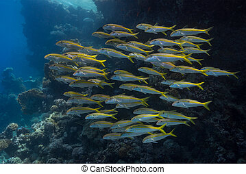 Shoal behaviour in yellowfin goatfish (Mulloidichthys...
