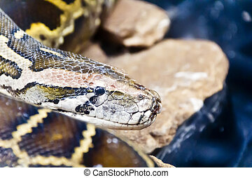 Python head in the midst of stones - Photo of python head in...