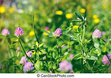 Flowering - blooming red clover in meadow
