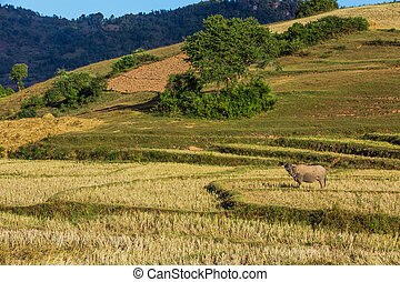 fields landscaped Shan state Myanmar - cultivated land...
